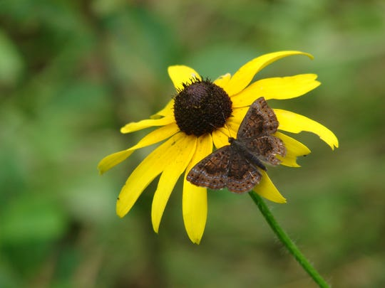 A northern metalmark butterfly perches on a cone flower in the Great Swamp.