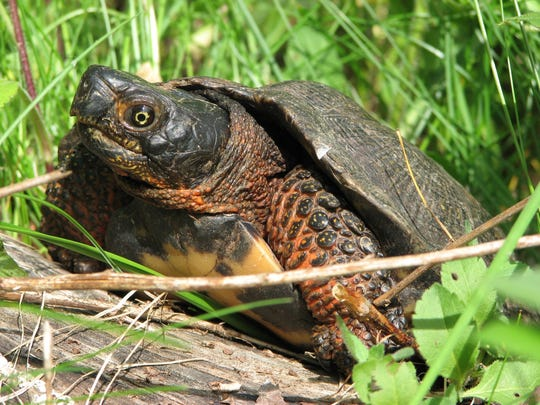 A wood turtle makes its home in the Great Swamp.
