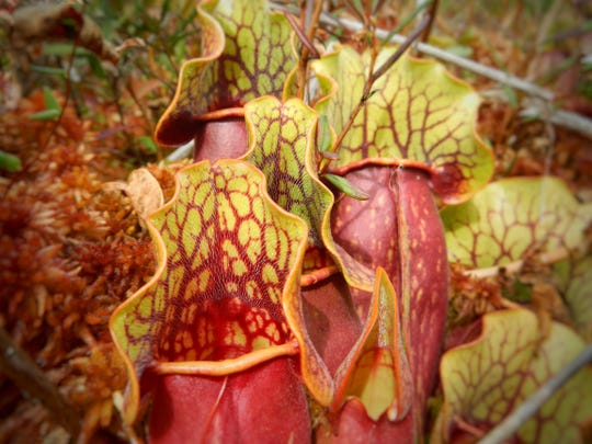 A pitcher plant is among the unique varieties of plants and flowers that grow along the Great Swamp.
