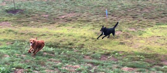 Dogs play at Sandy's Bark Park in Rib Mountain