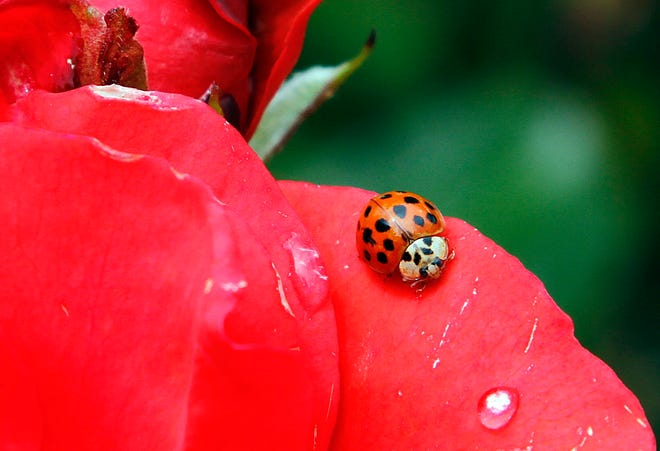 In this May 26, 2010 file photo, a Coccinellidae, more commonly known as a ladybug or ladybird beetle, rests on the petals of a rose in Portland, Ore. A study estimates a 14 percent decline in ladybugs in the United States and Canada from 1987 to 2006.