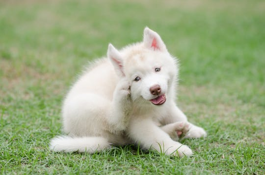 A siberian husky puppy scratches itself .
