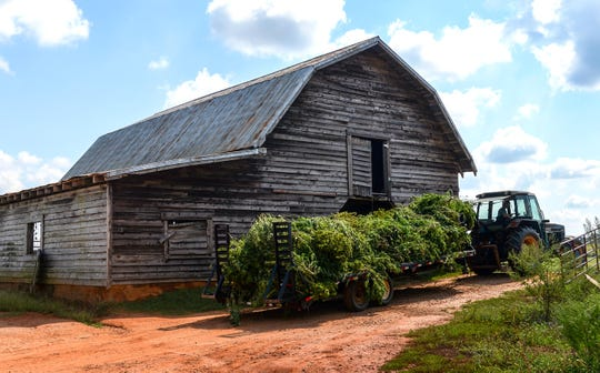 Lee Ford hauls off plants cut down during hemp harvest at Danny Ford's farm in Central.
