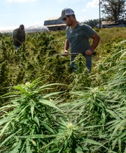 Danny Ford, left, and his son Lee Ford work together to harvest their hemp crop at their farm.