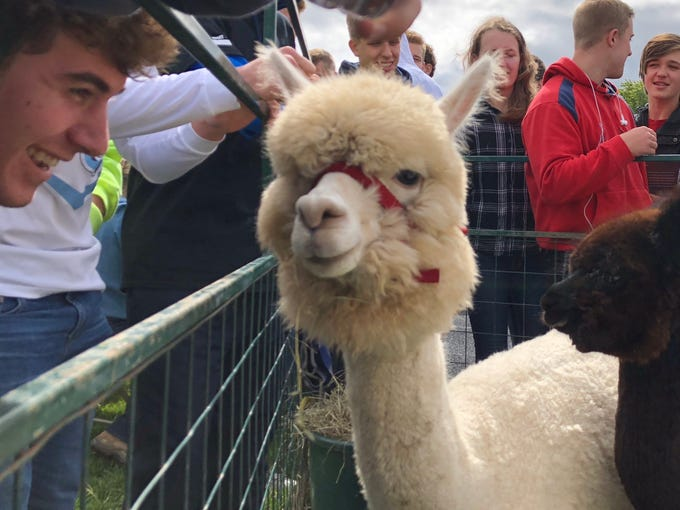 Students enjoy a pop-up alpaca farm at Little Chute's Student Mental Health Wellness Festival