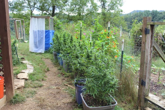 Deputies discovered what they identified as marijuana plants outside a home on Burr Road in Marshall.