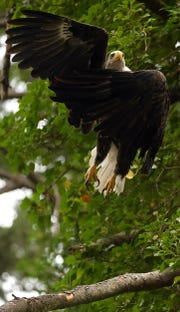 A bald eagle leaps off a branch to take flight above the Miller-Kirkman Preserve estuary on Thursday.