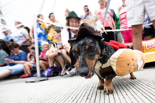 Peppi, 9, hangs out during the 11th annual Running of the Wieners to kick off Oktoberfest Zinzinnati weekend, Friday, Sept. 21, 2018, in downtown Cincinnati.