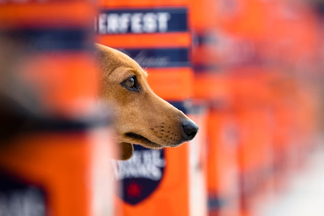 A dog looks on at the start line during the 11th annual Running of the Wieners to kick off Oktoberfest Zinzinnati weekend, Friday, Sept. 21, 2018, in downtown Cincinnati.