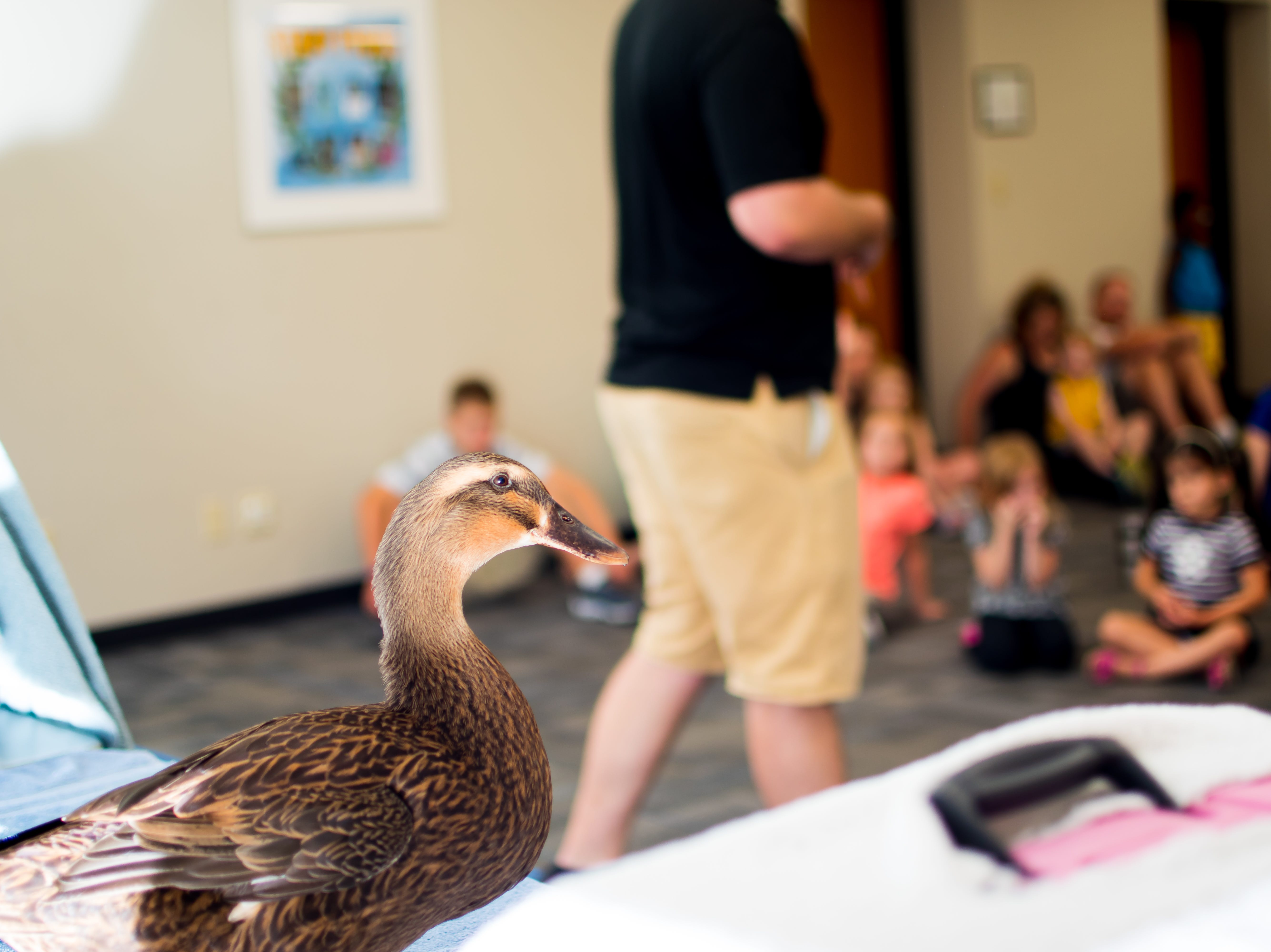 Fiona, a Rouen Duck, from the Blank Park Zoo checks out the families that attend Zoo Show and Tell at the Clive Public Library on Thursday, September 20, 2018 in Clive.