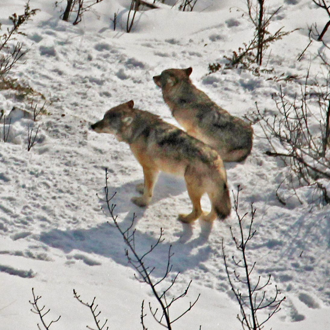 Starving wolves successfully relocated to Isle Royale National Park