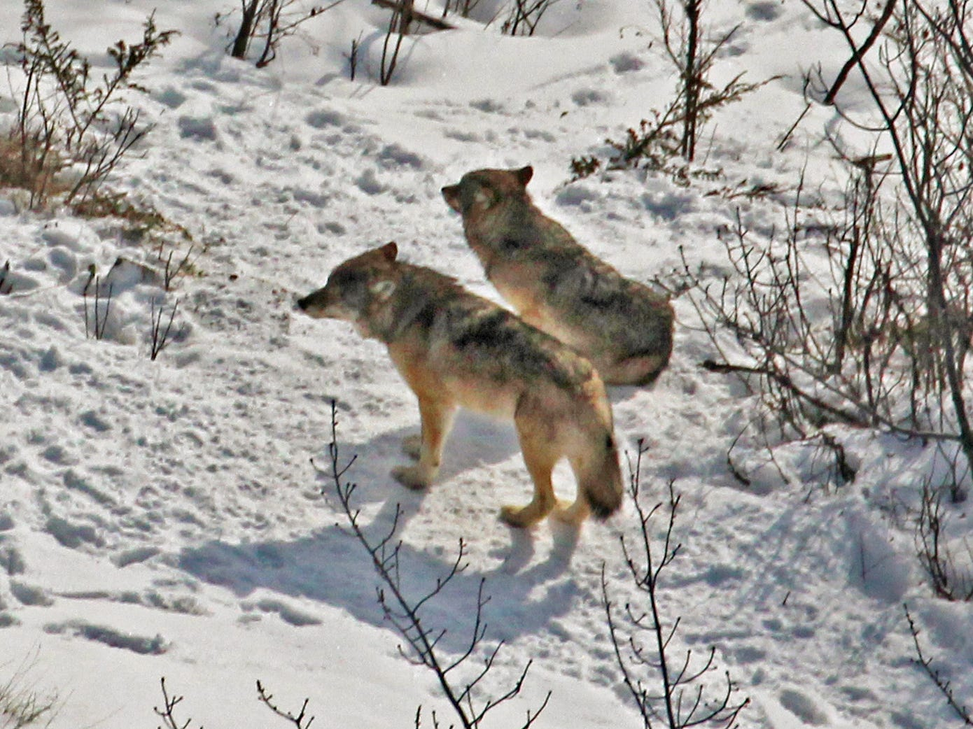 Relocated gray wolf dies on Isle Royale National Park