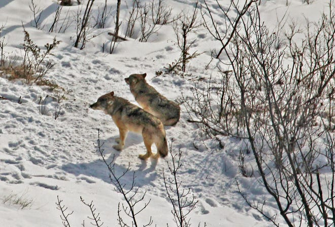 This 2017 photo provided by biologist Rolf Peterson of Michigan Technological University shows the last two surviving wolves at Isle Royale National Park in Michigan. The National Park Service plans to relocate additional wolves to the Lake Superior park in coming years to rebuild the predator species' depleted population. (Rolf Peterson/Michigan Technological University via AP)