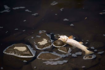 Dozens of trout and carp could be seen dotting the river in east Fort Collins on Friday.