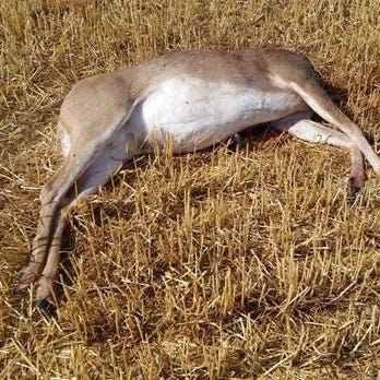 Deer, elk found illegally killed near Whitefish
