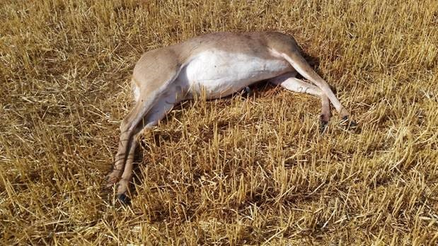 A deer was illegally shot and its head was removed near the intersection of Twin Bridges Road and Lodgepole Road near the Stillwater River