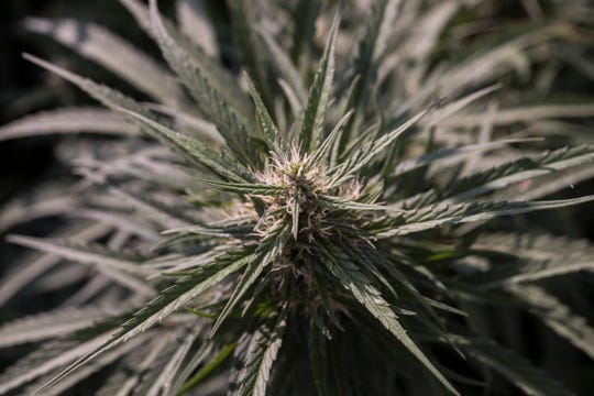 Hemps grows on a 4-acre patch of land in Henderson County. Shown is the top of the cola, main flower of the cannabis plant, with hairs of stigma and trichomes.
