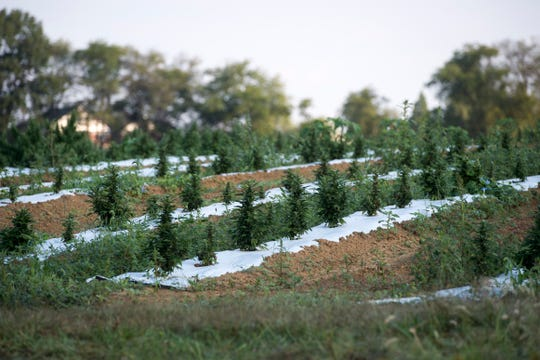 Hemp grows in rows on a 4-acre plot of land in Henderson County Sept. 18, 2018. As of early September Greenman Gardens had 7,600 plants in the ground with more in the greenhouses.