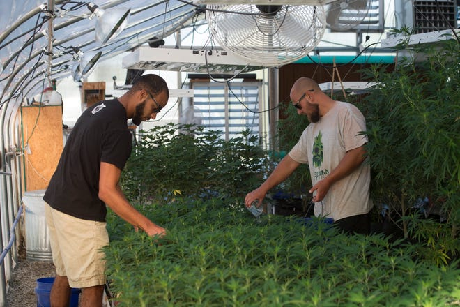 Coleman Tramill, left, and Nick Gatlin, right, water clones in one of Greenman Gardens greenhouses Sept. 18, 2018.