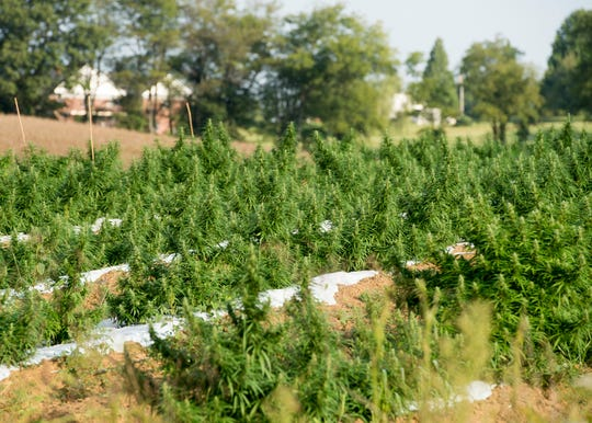 Hemp grows in rows on a 4-acre hemp patch in Henderson County Sept. 18, 2018. As of early September Greenman Gardens had 7,600 plants in the ground with more in the greenhouses.