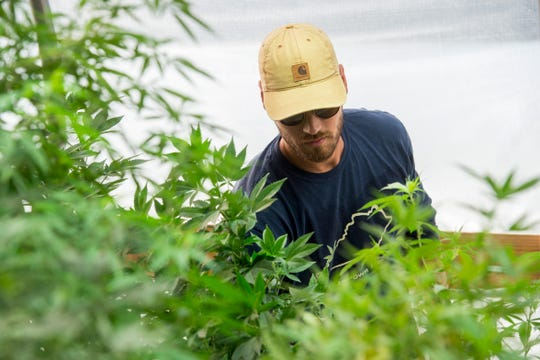 Greenman Gardens President and CEO Alex Russell maintains hemp plants in a greenhouse on a 4-acre patch of land in Henderson County Sept. 18, 2018.