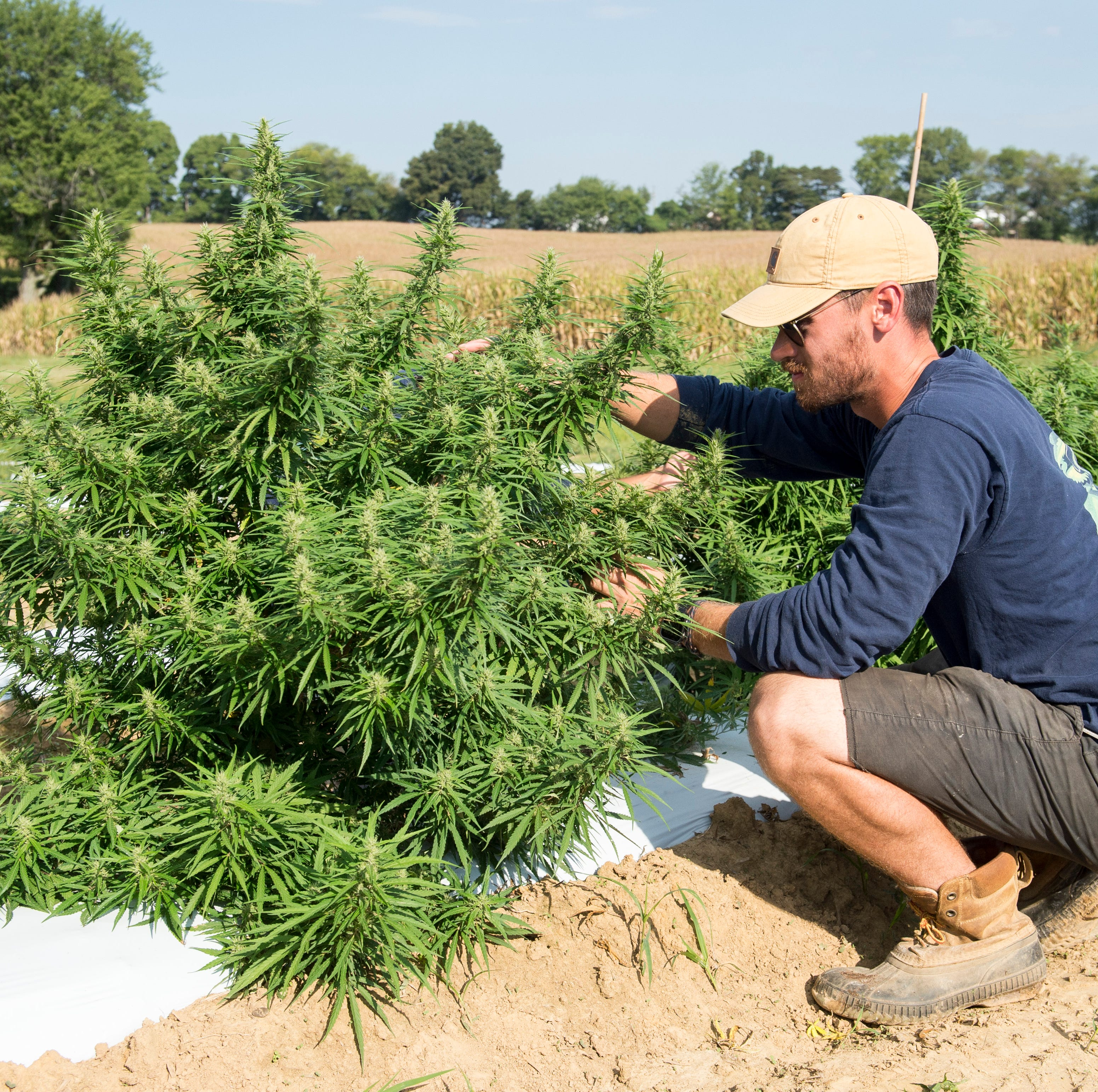 Greenman Gardens President and CEO Alex Russell maintains hemp plants on a 4-acre plot of land in Henderson County Sept. 18, 2018. As of early September Greenman Gardens had 7,600 plants in the ground with more in the greenhouses.