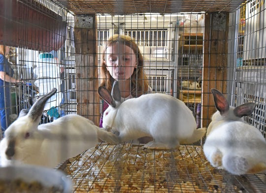 Annabella Chance, a third-grader at Edison Elementary in Ashland, tries to get the attention of a rabbit Thursday morning at the Ashland County Fair. The third-graders visited the fair to participate in an educational scavenger hunt, learning lessons in in a variety of subjects.