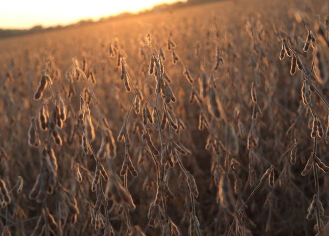 Soybeans soak in the last of the sun's rays at a farm near Crestline this week.
