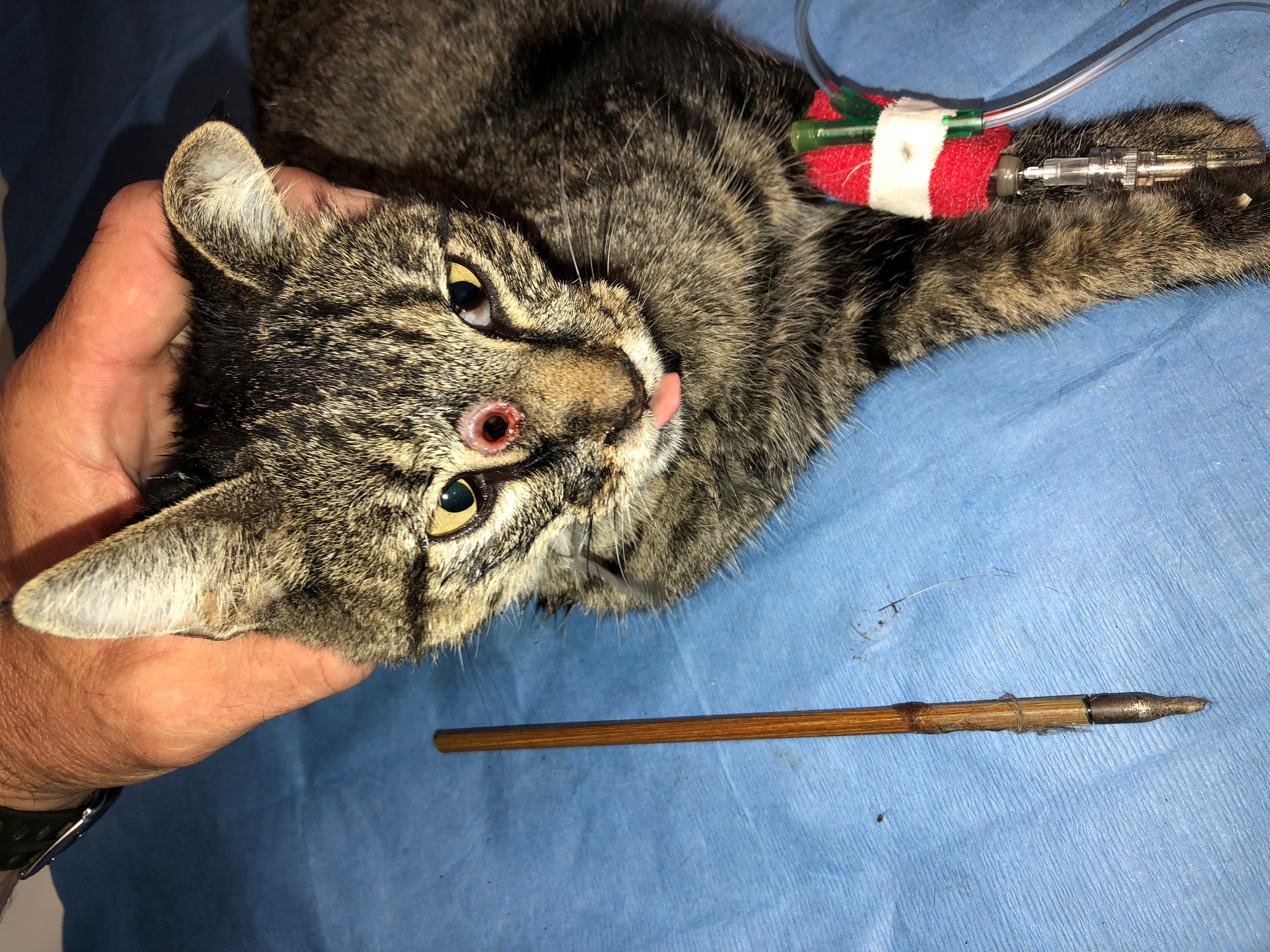 Dr. Rob Conner of All Creatures Veterinary Hospital recently treated a cat that was shot through the face with an arrow. The cat survived the incident and is up for adoption.