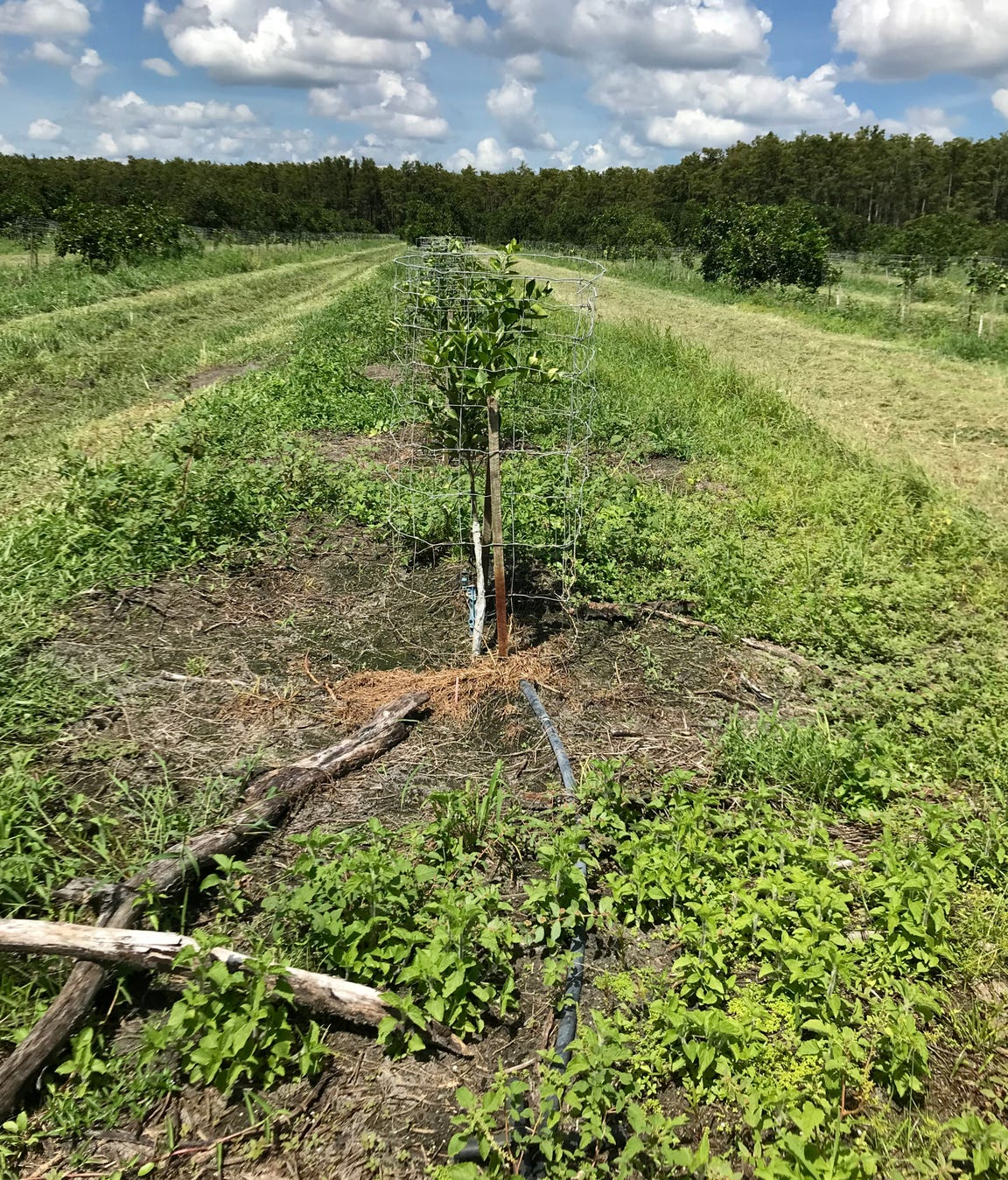 This replacement Valencia tree is about 2 feet tall. It looks tiny when compared to the more mature trees that survived in the Hurricane Irma-damaged Bear Hammock Grove, in Collier County near Corkscrew Swamp Sanctuary.