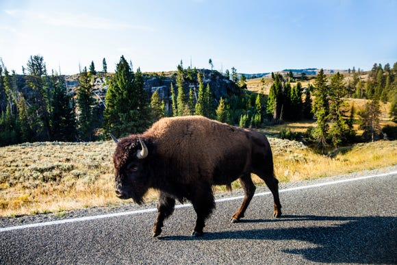 A bison walks along the road in Lamar Valley in Yellowstone National Park on Thursday, Sept. 6, 2018. Yellowstone is the only place in the United States where bison have lived continuously since prehistoric times.