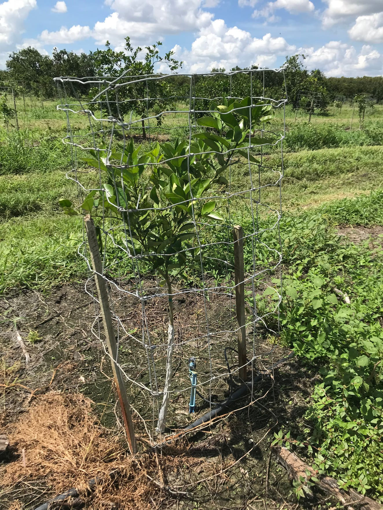 A young Valencia tree replanted in a row that was badly damaged by Hurricane Irma at Bear Hammock Grove off Immokalee Road, near Corkscrew Swamp Sanctuary. The grove suffered the most harm to the east of the storm's eyewall.
