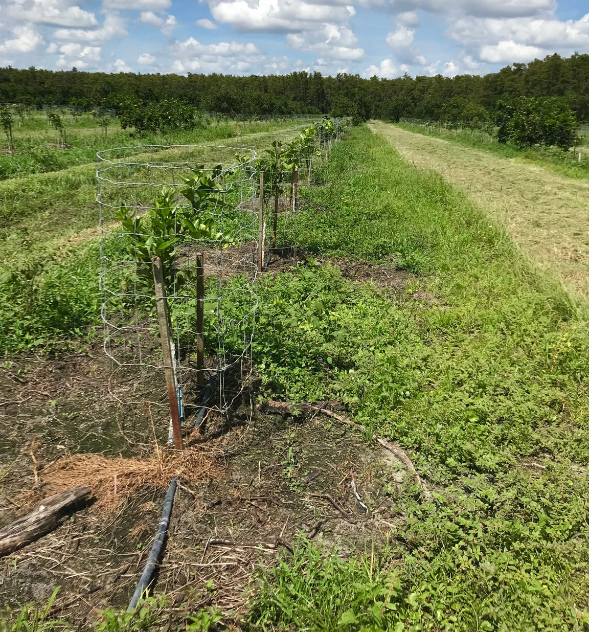 A row of young Valencia trees are protected by wire fencing so they aren't destroyed by deer. These 2-foot trees replaced more mature trees destroyed by Hurricane Irma at Bear Hammock Grove off Immokalee Road in eastern Collier County.