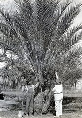 Marcus Belardo and Dr. Harry L. Coffman tending date palm at the Desert Inn c. 1910.