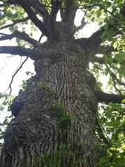 The sentinel tree stands tall in the Great Swamp.