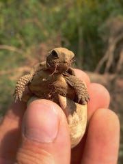 A box turtle hatchling makes its home in the Great Swamp.