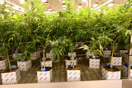 This June 28, 2018, photo shows one of the marijuana grow rooms Exhale Nevada in Las Vegas.