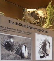 A mounted sage grouse is on display in the visitor center.