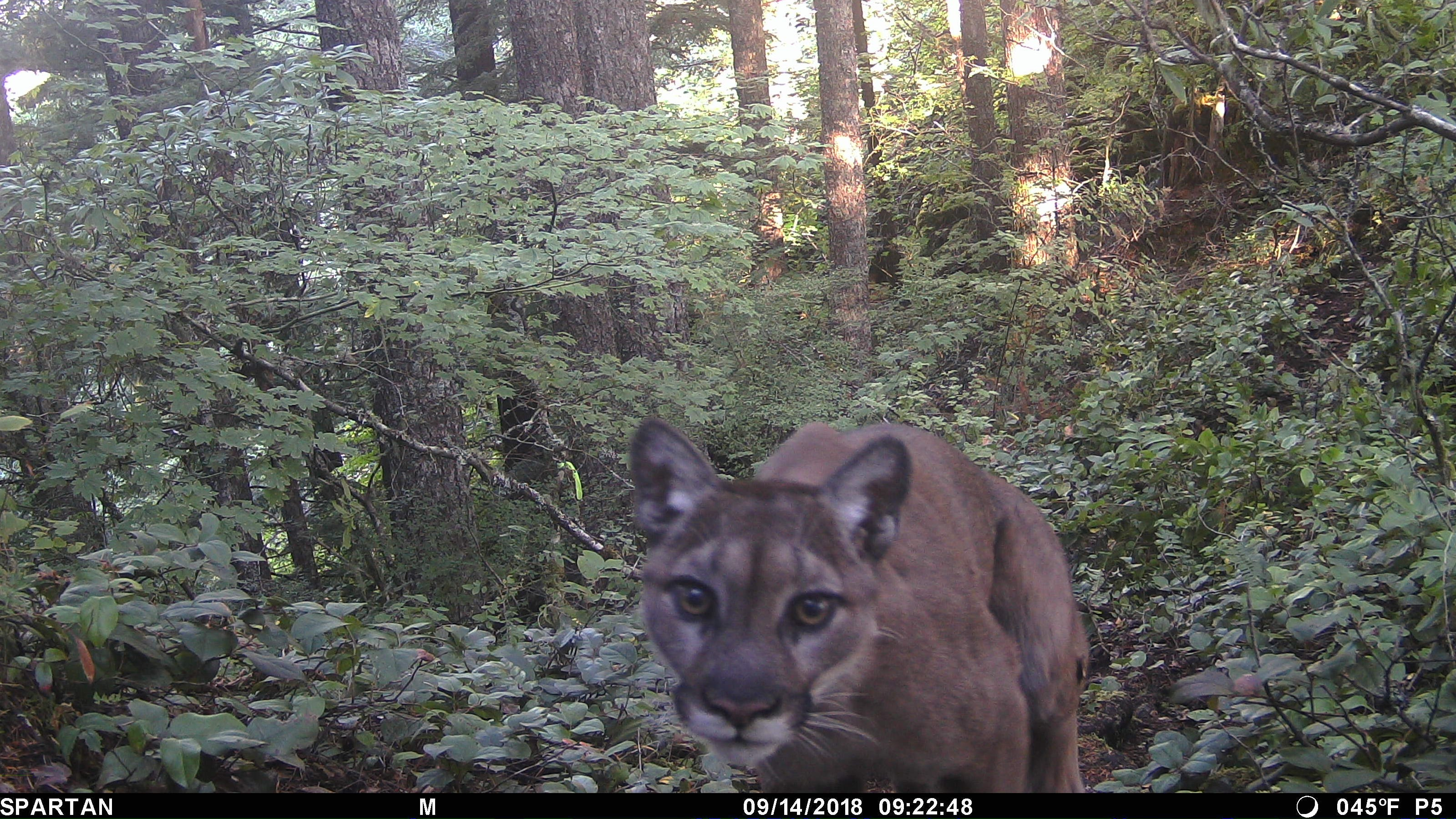 Cougar killed by state 'highly likely' for fatal attack on hiker Diana Bober, but no DNA evidence