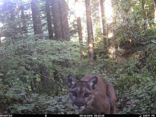 092118 Pict4511 Cougar