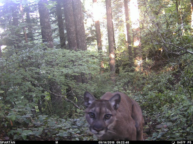 Images of the cougar detected on a trail camera set just a few feet from where the victim's backpack was picked up on Hunchback Mountain trail, taken Sept. 14, 2018.