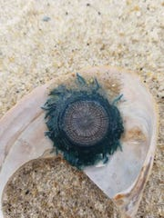 A blue button jellyfish that washed ashore on Assateague Island in late September 2018.
