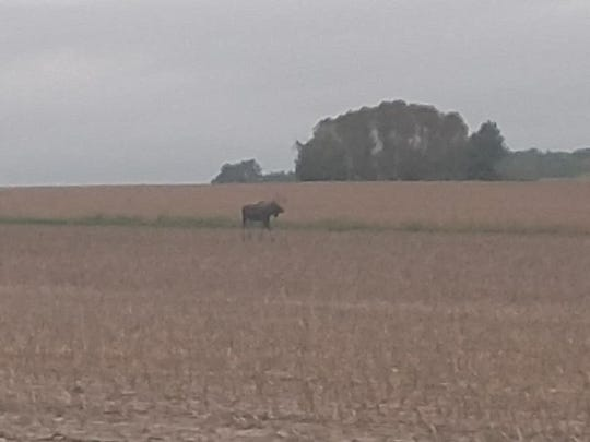 The moose was seen on Thursday near Owen after sightings in Taylor County Tuesday near Lublin and near Stanley on Wednesday.