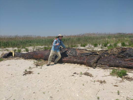 This is what the juvenile humpback whale carcass looked like in May 2017, shortly after it was brought to Pickering Beach from Port Mahon.