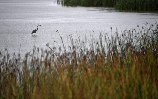 A large Blue Heron hunts in the rain along the shore of Lake Wichita Friday afternoon.