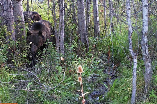This Aug. 31, 2018 photo from a game camera provided by Stacey Thoft-Plimmer shows two grizzly bears near St. Ignatius, Mont. Thoft-Plimmer has now set up six cameras and shares her photos and videos on the Mission Valley Montana Grizz Cam Facebook page. (Stacey Thoft-Plimmer via AP)
