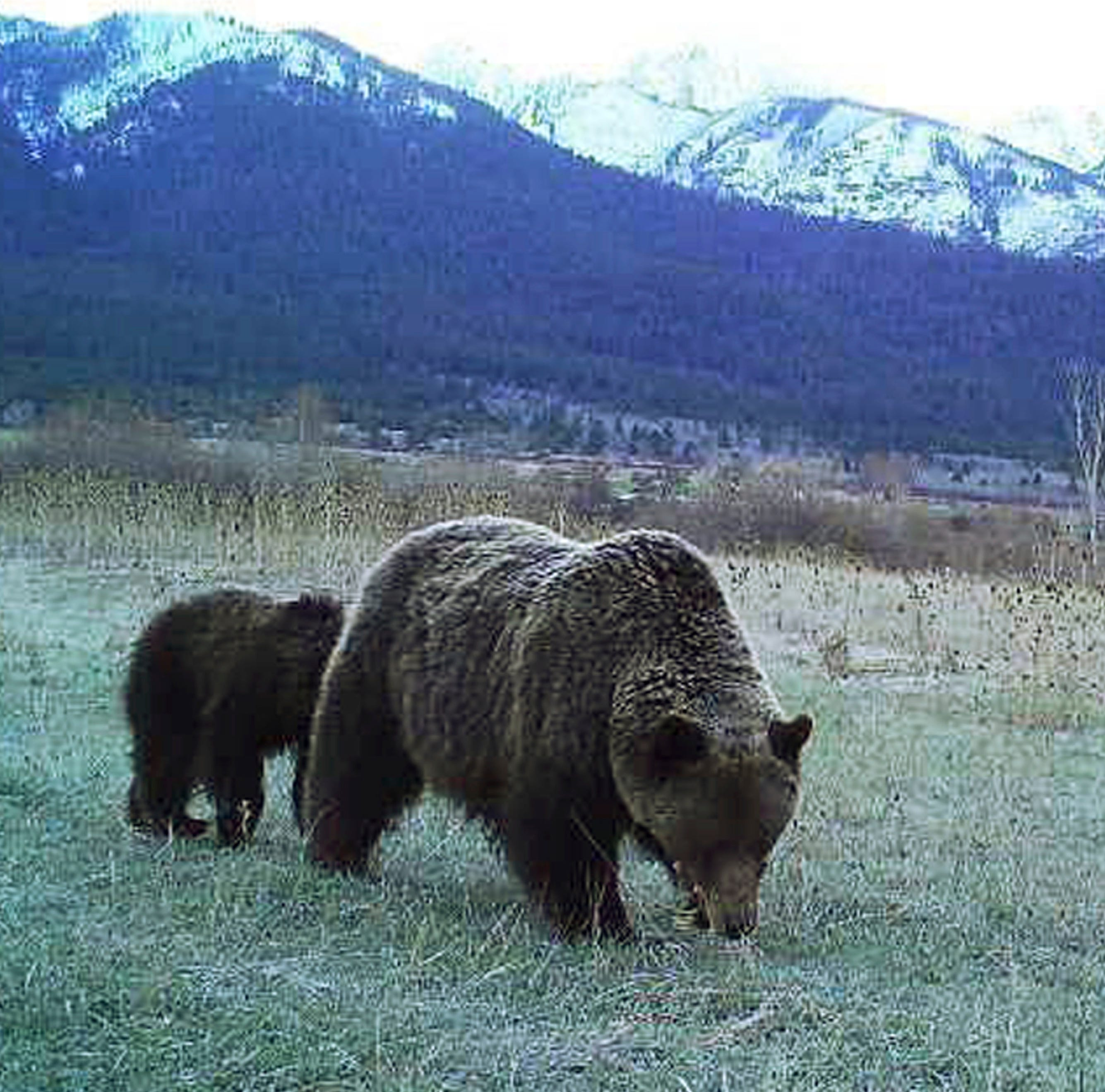 Grizzly attacks bow hunter near Gardiner