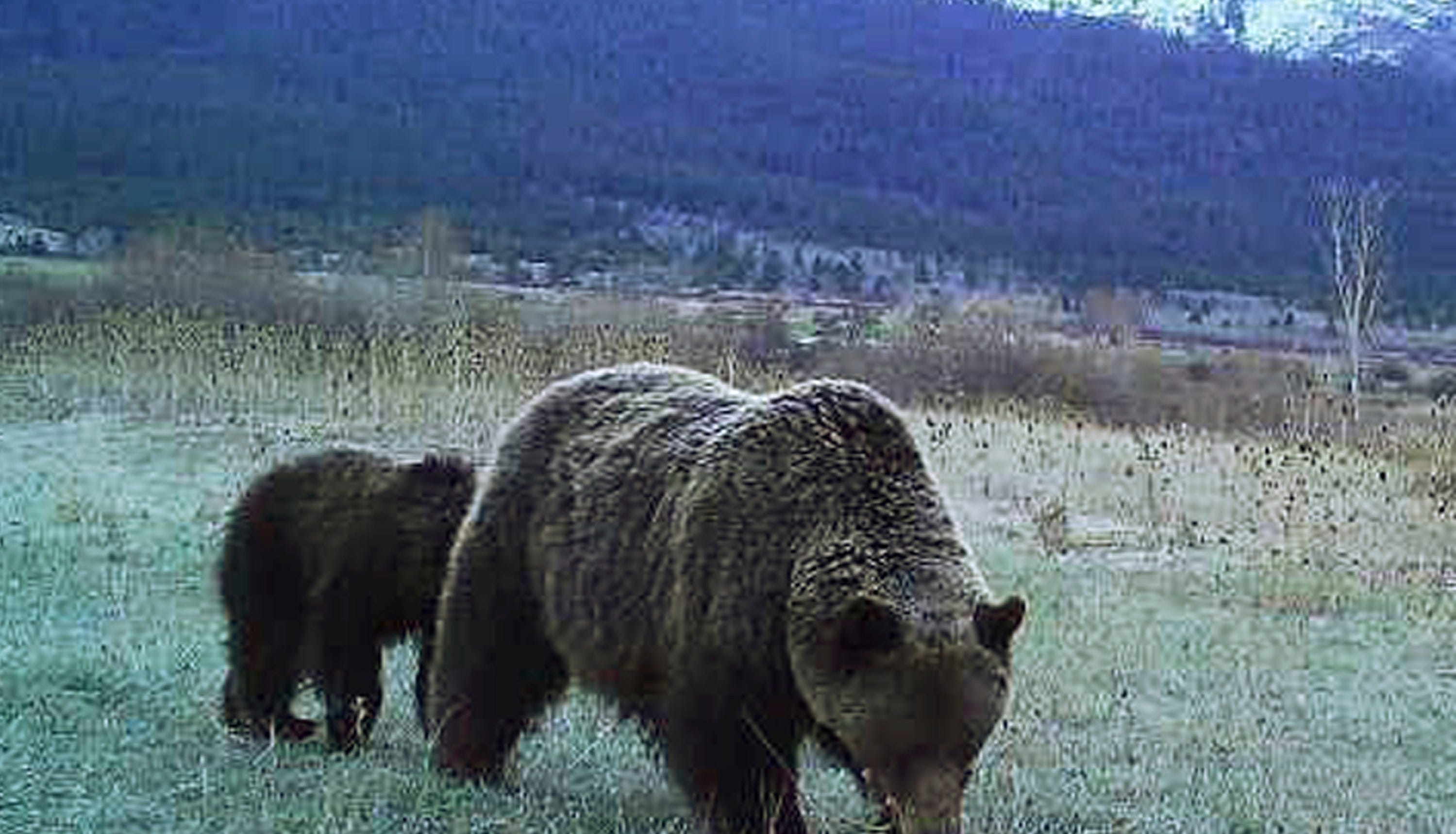 This spring, 2017 photo from a game camera provided by Stacey Thoft-Plimmer shows a grizzly bear and her cub on property near St. Ignatius, Mont. Thoft-Plimmer has now set up six cameras and shares her photos and videos on the Mission Valley Montana Grizz Cam Facebook page. (Stacey Thoft-Plimmer via AP)