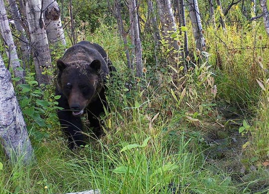 This Aug. 31, 2018 photo from a game camera provided by Stacey Thoft-Plimmer shows a grizzly bear near St. Ignatius, Mont. Thoft-Plimmer has now set up six cameras and shares her photos and videos on the Mission Valley Montana Grizz Cam Facebook page. (Stacey Thoft-Plimmer via AP)