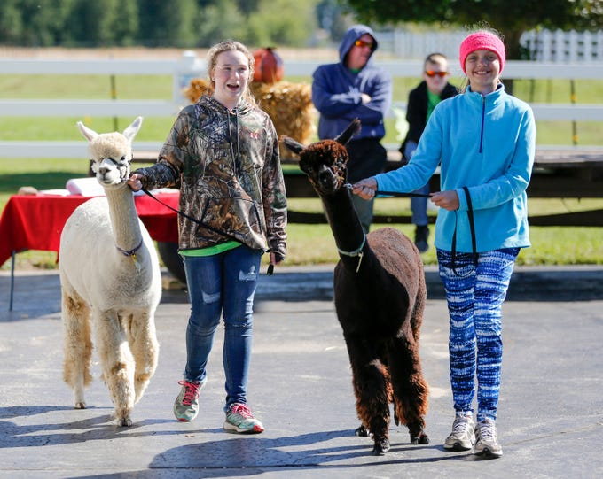 Ellie Hanson, 11, left, and Lori Cook, 11, of the Manitowoc County 4-H Alpaca Project walk their alpacas during National Alpaca Days at LondonDairy Alpaca Ranch Saturday, September 22, 2018, in Two Rivers, Wis. Josh Clark/USA TODAY NETWORK-Wisconsin